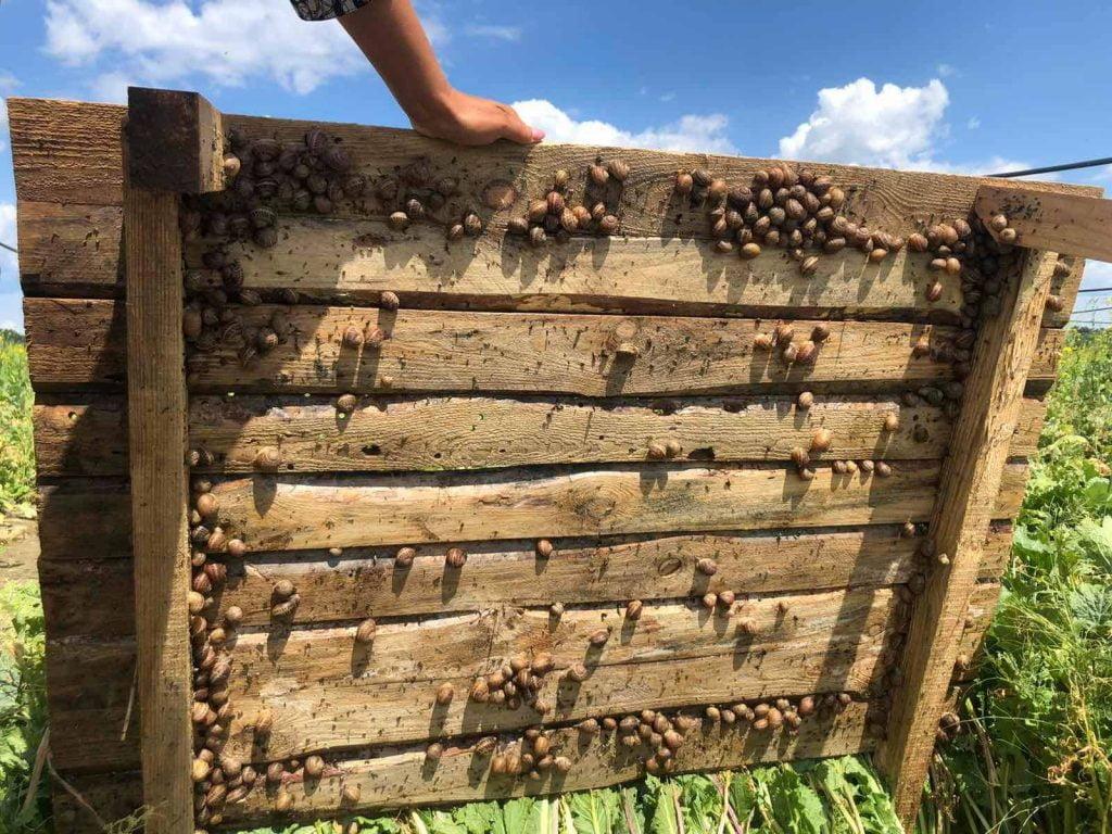 Равлики у Наливайківці Мкарівської громади ростуть на щитах і під ними